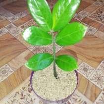 Долларовое дерево, в г.Усть-Каменогорск