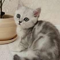 Продаются котята, чистокровные британочки!Срочно!, в г.Тирасполь