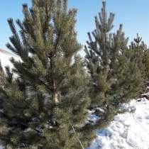 Сосна Сибирская обыкновенная. Саженцы и крупномерные деревья, в Красноярске