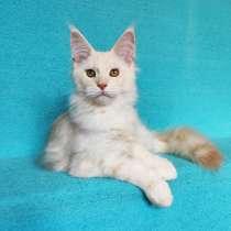 Котик мейн-кун из питомника, в Владимире