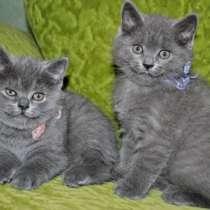 британские котята, в Томске