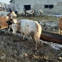 Коровы и бычки на убой, в Челябинске