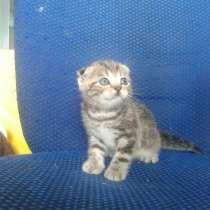 Котята шотландские, в Нижнекамске