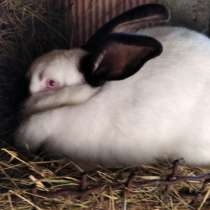 Продам кроликов самочек метисов, в г.Гомель