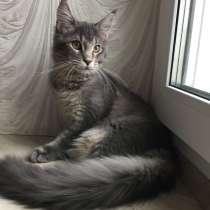 Котёнок мейн-кун, в г.Могилёв