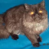 Персидский кот Чемпион WCF для вязок, в Москве