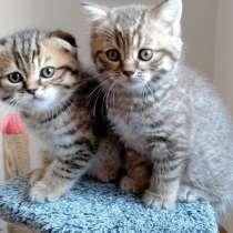 Скоттиш фолды и Скоттиш страйты котята 1.5 месяца, в г.Muratpasa