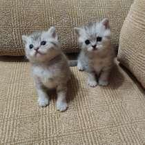 Шотландские котята, в Магнитогорске
