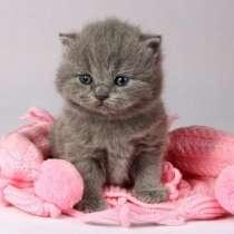 Голубые британские котята из ILIOS CATS, в Москве