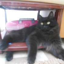 У нас пропал чорный пушистый ухоженый кот, в Чите