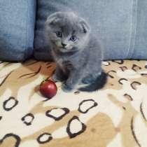 Котёнок скоттиш-фолд, в г.Кривой Рог