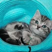 Шотландский клубный котенок страйт, в Омске