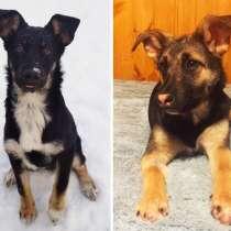 Ищем дом для двух щенков, сестричка Гаечка и братик Рокки!, в Москве