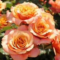 Саженцы роз в горшках с землей, в Москве