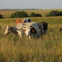 Коровы бычки телята Улан Уд, в Улан-Удэ