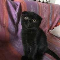 Шотландские котята, в г.Запорожье