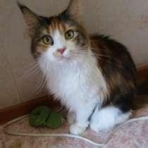 Породистая кошка Мейн-Кун в связи с отъездом, в Челябинске