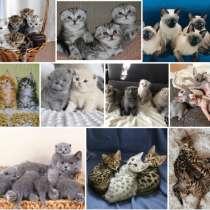 Питомник котят Кызыл, в Кызыле