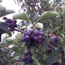 кустарное дерево ирга (карина), в г.Рубежное