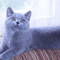 Красивый британский котик, в Москве