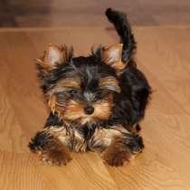 Куплю щенка йоркширского терьера, в г.Гери