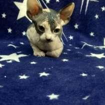 В добрые руки котята Канадского Сфинкса, в г.Ташкент