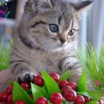 Британские котята, в Ростове-на-Дону