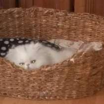 Персидский белый котенок, в г.Астана