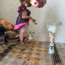 Той-терьера щенки, в Москве