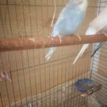 Продам волнистого попугая, девочка, в Великом Новгороде