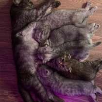 Вислоухие и прямоухие малыши котята, в Люберцы