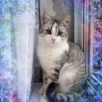 Молодой котик Буслай, окрас табби на серебре, в дар, в Москве