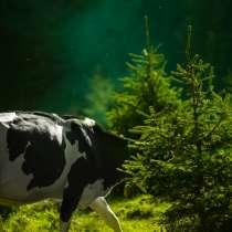 Продаётся корова, в Кирове