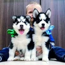 Красивые черно-белые щеночки хаски, в Новоаннинском