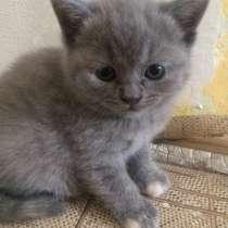 Чистокровные британские котята, в Уфе