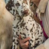 Продаю щенков далматина, в Нижнем Новгороде