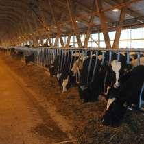 Продадим нетелей бычков коров 290 голов, в Набережных Челнах