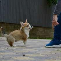 Высокопородный щенок Вельш Корги Пемброк, в Москве