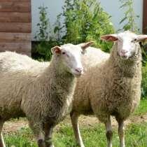 Племенные овцы Восточно-фризкая (Скот из Европы класс Элита), в г.Ереван