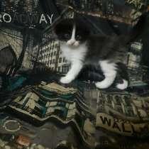 Котята в дар, 3 девочки от шотландки, в Самаре
