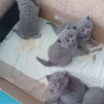 Элитные голубые британские котята, в г.Могилёв