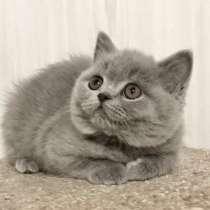 Британские голубые котята, в Екатеринбурге