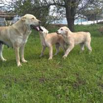 Предлагаются к продаже щенки алабая(САО), в г.Тирасполь