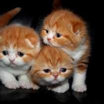 Шотландские красные мраморные и биколорный котята, в Москве