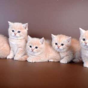 Кремовые(розовые)котята, в Санкт-Петербурге