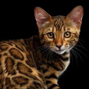 Sending pedigree kittens from Ukraine to the USA, в г.Киев