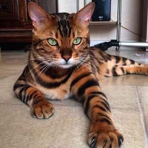 Приму в дар бенгальского котёнка, в Сыктывкаре