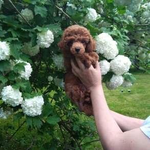 Очаровательные щенки миниатюрного и той-пуделя, в Москве