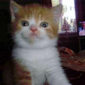 Британский котенок, в Краснодаре