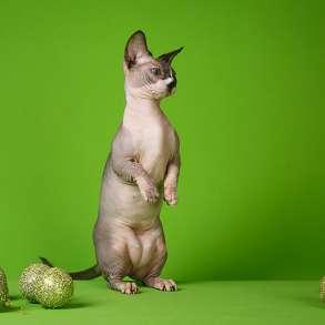Бархатный котёнок с душой Эльф, Двэльф, бамбино или сфинкс, в г.Антверпен